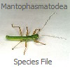 MantophasmatodeaSF: MantophasmatodeaSF: Mantophasmatodea Species File