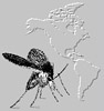 CIPA: Computer Aided Identification of Phlebotomine sandflies of Americas